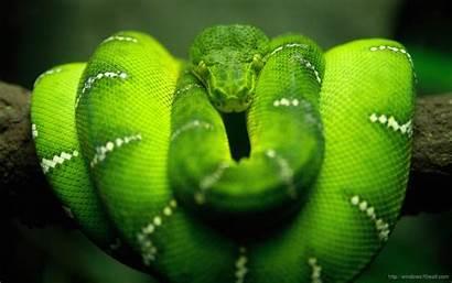Anaconda Windows Wallpapers Background Snake