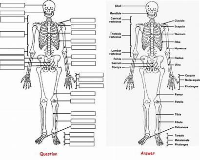 Anatomy Coloring Skeleton Bones Human Answer Label