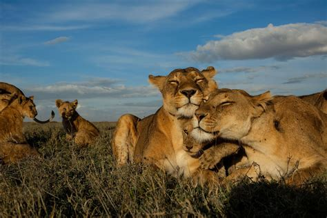 Big Cats Initiative National Geographic Society