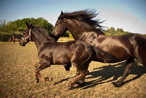 horses running   henrikholmberg  deviantart