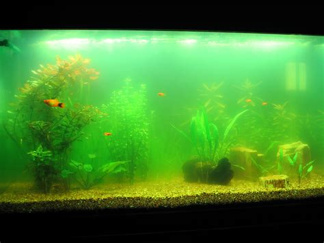 cloudy fish tank get rid of cloudy aquarium water once and for all homesalive ca