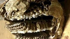 Comment Repérer Un Nid De Frelon : d couvrez l 39 interieur d 39 un nid de frelons asiatiques en ~ Melissatoandfro.com Idées de Décoration
