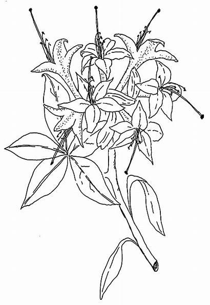 Species Viscosum Plants 1850 Qbars Rhododendrons Before