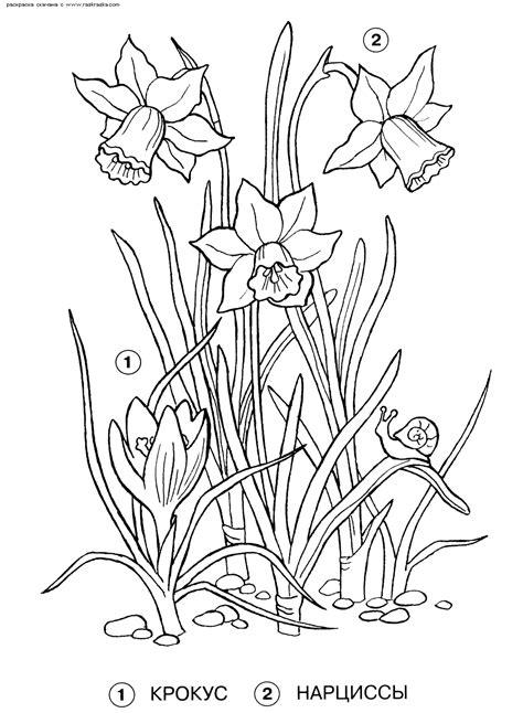 Kleurplaat Narcis by Kleurplaat Narcis Voorjaarsknutsel Narcis Kleurplatenl