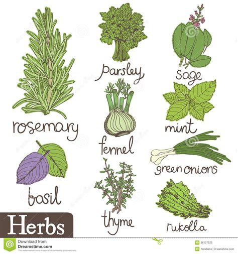 how to herbs herbs plants drawing www imgkid com the image kid has it
