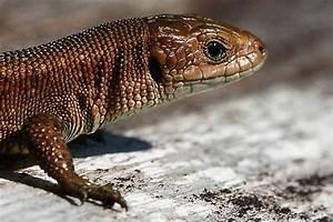 Große Reptilien Für Zuhause : waldeidechse nabu ~ Lizthompson.info Haus und Dekorationen