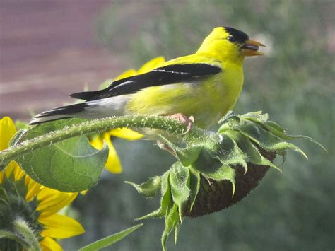 feeding birds naturally sunflowers audubon rockies