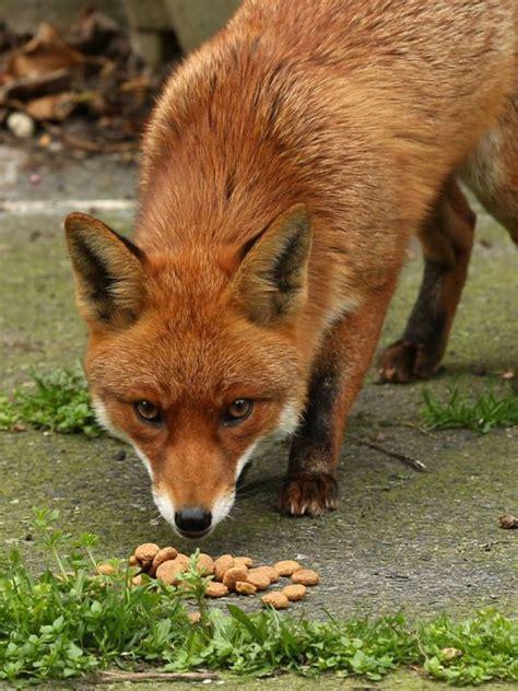 Inside the secret world of London's urban foxes Animals