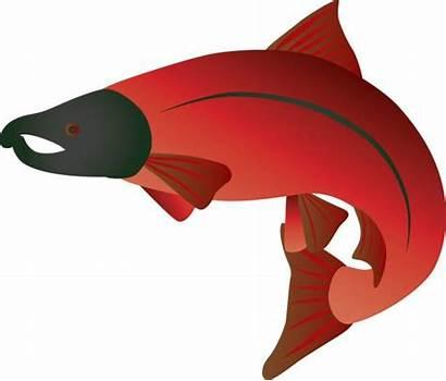 Salmon Sockeye Coho Clip Illustration Vector Illustrations