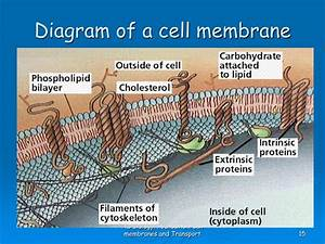 Ppt - As Biology Foundation Chapter 4 Cell Membranes And Transport Powerpoint Presentation