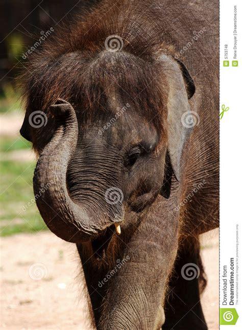 baby asian elephant royalty  stock  image
