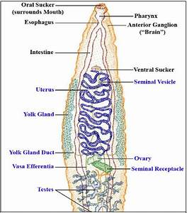 1   Diagram Of Digenia Trematoda With Basic Internal Organs In