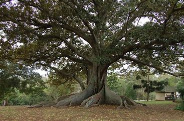 Image result for The fig tree
