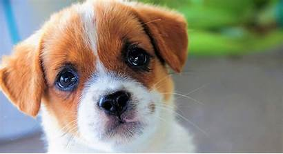Puppy Face Dog Animal Dogs Wallpapers Background