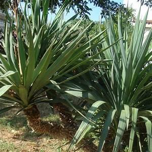 Plantes Grasses Extérieur : vente yucca ~ Dallasstarsshop.com Idées de Décoration
