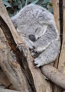 Super Cute Baby Koala | Cutest Paw | Animal | Pinterest
