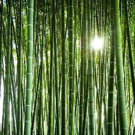 where will bamboo grow 17 best images about peaceful bamboo on pinterest growing bamboo bamboo seeds and bamboo