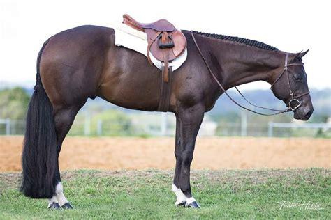 horses horse quarter english american western pleasure breeds dressage jumping hunter jumper saddle aqha