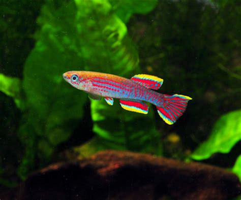 african plant spawning killifish full article details