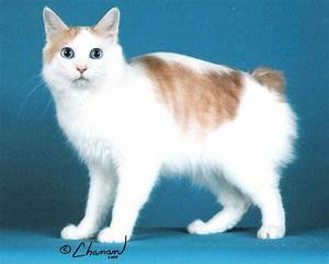 Brown And White Japanese Bobtail
