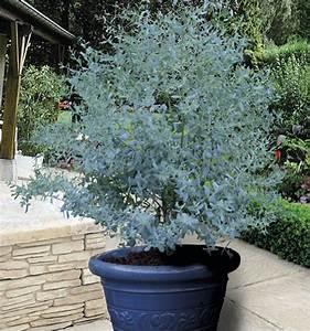 Eucalyptus En Pot : eucalyptus gunnii france bleu rengun plante en ligne ~ Melissatoandfro.com Idées de Décoration
