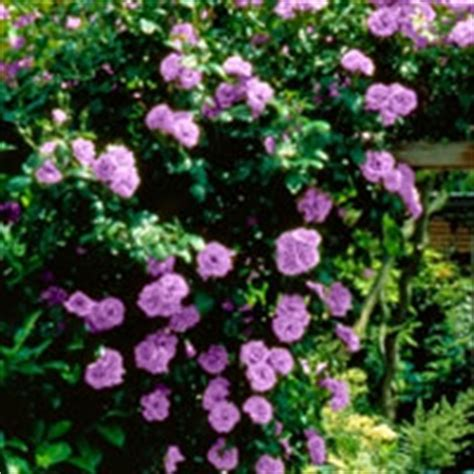 angel face climbing roses