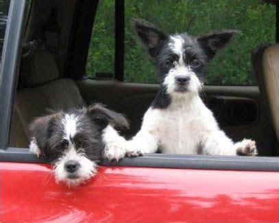 boston terrier shih tzu mix  dog
