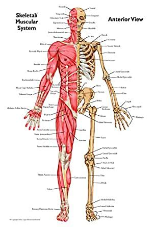 Anatomical Chart Set of Muscular Skeletal - Anterior and