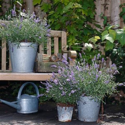 planter la lavande en pot gamm vert