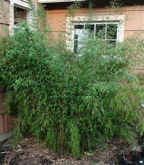 Bambuspflanzenshop  Jade Bambus  Fargesia Spez