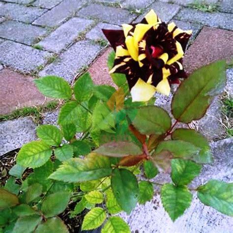jual bibit bunga mawar batik kuning agro bibit id