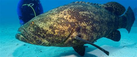 grouper goliath giant fish shark massive endangered bite single species diver jewfish key largo ocean atlantic