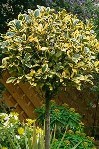 Ilex Golden King : plants as presents ilex golden king todd 39 s botanics ~ Frokenaadalensverden.com Haus und Dekorationen