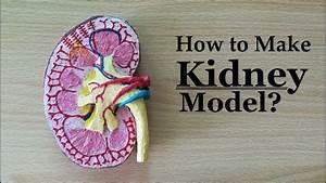How To Make Kidney Model