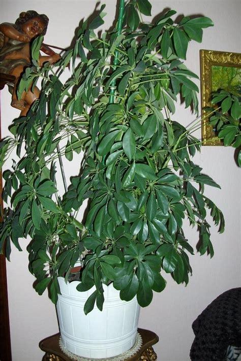 Große Zimmerpflanzen Günstig by Sch 246 Ne Gro 223 E Gesunde Zimmerpflanzen In Pforzheim