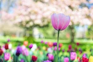 Yellow Tulip Flower Field During Daytime  U00b7 Free Stock Photo
