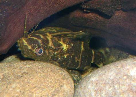 poisson chat d aquarium poisson chat en images dinosoria