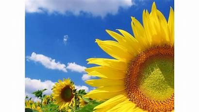 Summer Season Sunflower Vertical 4k