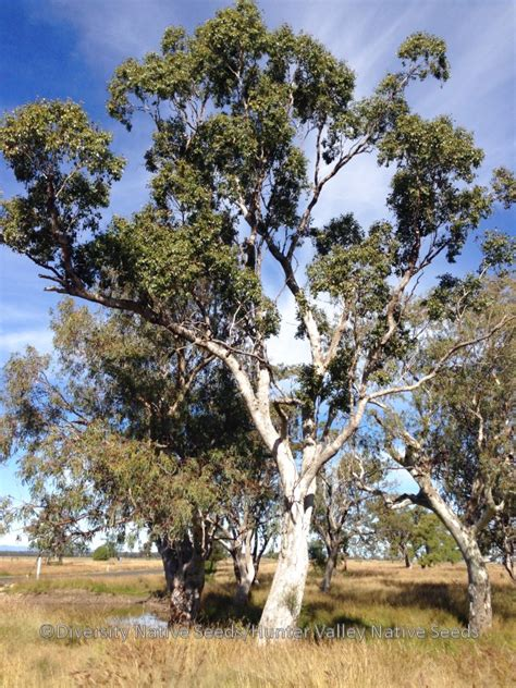 eucalyptus populnea bimble box diversity native seeds
