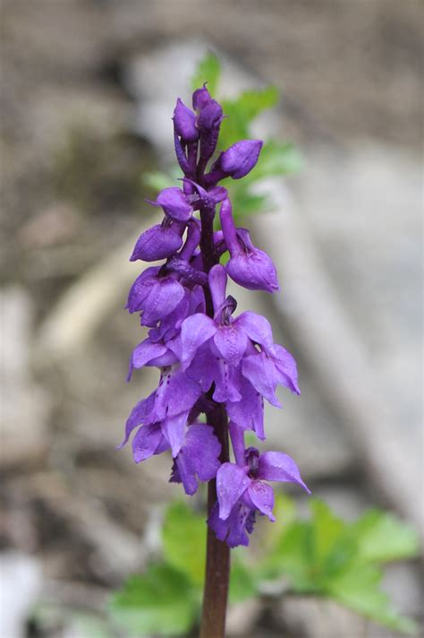 Nature - Orchis mascula