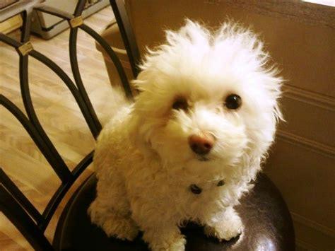 maltipoo maltese poodle breed information