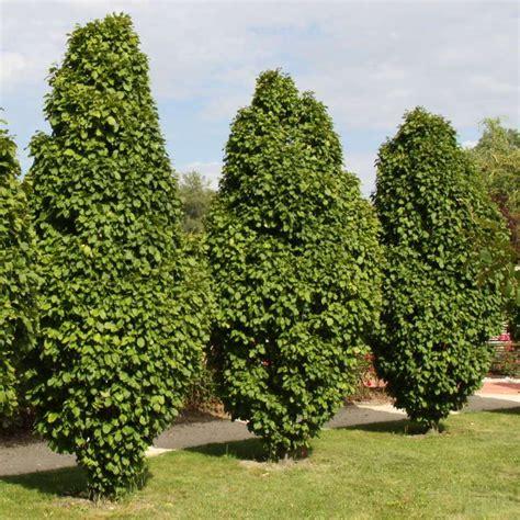 hainbuche carpinus betulus pyramiden hainbuche carpinus betulus columnaris