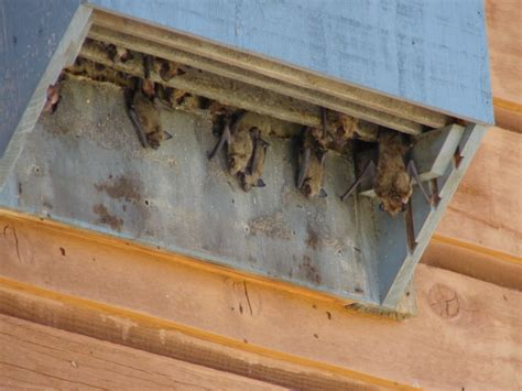 how to attract bats where do bats live bat house