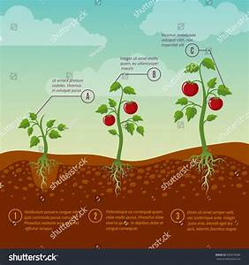 Tomatoes Growth Planting Stages Flat Vector Stock Vector