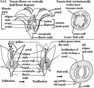 Hybrid Vs  Open Pollinated Vs  Heirloom