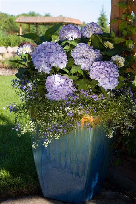 care of hydrangeas in pots endless summer hydrangea landscape plan flowers