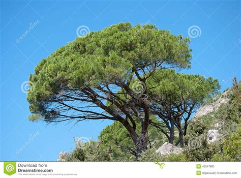 mediterranean plants and trees mediterranean pine trees stock photo image 45247883