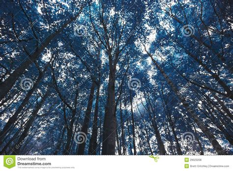 blue forest trees royalty  stock  image