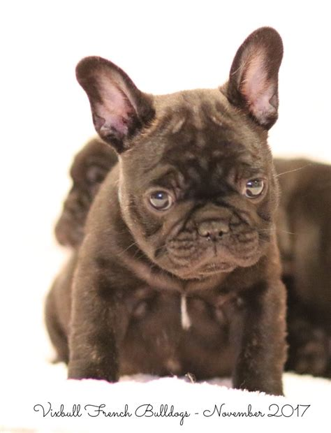 Available  Ee  Puppies Ee   Vixbull French Bulldogs Louisiana