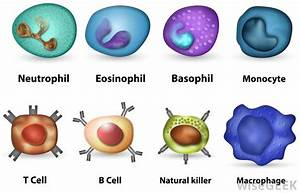 What Are Phagocytes   With Pictures